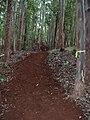 Starr-041214-1519-Eucalyptus sp-trail building-Makawao Forest Reserve-Maui (24627782871).jpg