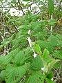 Starr-051122-5357-Rubus niveus-form a habit-Haleakala Ranch-Maui (24731688602).jpg