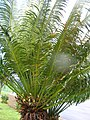 Starr-060507-8084-Cycas circinalis-habit-Eddie Tam Makawao-Maui (24836937956).jpg