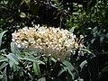 Starr-071024-9991-Buddleja davidii-white flowers-Enchanting Floral Gardens of Kula-Maui (24802362231).jpg