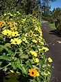 Starr-080219-2901-Thunbergia alata-mixed flowers-Enchanting Floral Gardens of Kula-Maui (24609194810).jpg