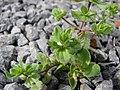 Starr-090401-5506-Veronica arvensis-habit-Olinda-Maui (24320346174).jpg