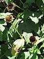 Starr-090609-0358-Tithonia diversifolia-spent flowers-Haiku-Maui (24869899191).jpg