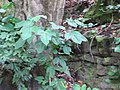 Starr-090714-2824-Sandoricum koetjape-habit-Honokahau Valley-Maui (24339208414).jpg