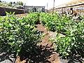 Starr-091020-8378-Solanum muricatum-fruiting habit-Kula Experiment Station-Maui (24359607403).jpg