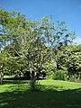 Starr-091104-0791-Delonix elata-habit-Kahanu Gardens NTBG Kaeleku Hana-Maui (24692095830).jpg
