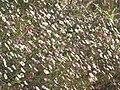 Starr-100603-6876-Erigeron karvinskianus-flowers-Polipoli-Maui (25039859265).jpg