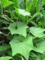 Starr-100621-7588-plant-Sechium edule-leaves-Honokowai Ditch Trail.jpg