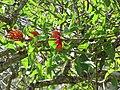 Starr-110330-4181-Erythrina crista galli-flowers and leaves-Garden of Eden Keanae-Maui (24713691549).jpg