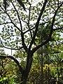 Starr-110330-4233-Ochroma pyramidale-habit-Garden of Eden Keanae-Maui (24988131551).jpg