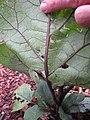 Starr-110502-5422-Solanum melongena-leaves with hail damage-Hawea Pl Olinda-Maui (25068310266).jpg
