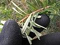 Starr-110609-6134-Banksia marginata-leaves silver undersides-Shibuya Farm Kula-Maui (24978617322).jpg