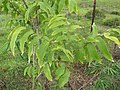 Starr-110830-8804-Sapindus saponaria-leaves-Ulupalakua-Maui (24477565773).jpg