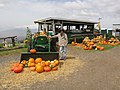 Starr-111004-0594-Cucurbita pepo-pumpkin and tractor display with Forest-Kula Country Farms-Maui (24487758894).jpg