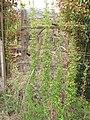 Starr-120403-4151-Asparagus asparagoides-fruiting habit-Kula-Maui (24842857080).jpg
