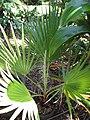 Starr-120522-5934-Washingtonia sp-habit-Iao Tropical Gardens of Maui-Maui (25024656322).jpg