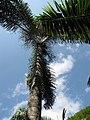 Starr-120522-5947-Dypsis decaryi-habit-Iao Tropical Gardens of Maui-Maui (24516076553).jpg