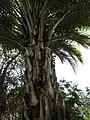 Starr-120522-6182-Elaeis guineensis-base-Iao Tropical Gardens of Maui-Maui (25025032952).jpg