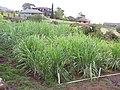 Starr-120620-7461-Cenchrus purpureus-green bana grass habit-Kula Agriculture Station-Maui (25052441451).jpg