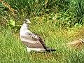 Starr-130911-0936-Cyperus laevigatus-habit with juvenile Masked Booby-Lake-Laysan (25129934991).jpg