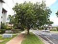 Starr-140711-1035-Cordia subcordata-tree with love birds-Kanani Rd Kihei-Maui (25151291721).jpg