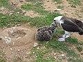 Starr-150325-0590-Coronopus didymus-with Laysan Albatross feeding chick-Community Garden Sand Island-Midway Atoll (25266091945).jpg