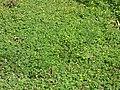 Starr-170224-0926-Oxalis corniculata-flowering habit-Hawea Pl Olinda-Maui (32998477460).jpg