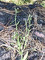 Starr-170304-0322-Conyza bonariensis-habit-Lower Waiohuli Trail Polipoli-Maui (33382581765).jpg