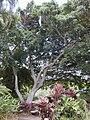 Starr 010420-0124 Ficus benjamina.jpg