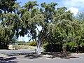 Starr 010424-0004 Ficus microcarpa.jpg