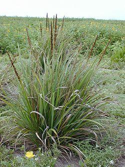 meaning of eragrostis