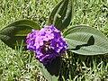 Starr 020815-0011 Tibouchina multiflora.jpg