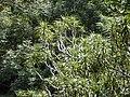Starr 030405-0105 Pleomele auwahiensis.jpg
