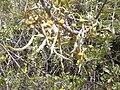 Starr 030603-0018 Sophora chrysophylla.jpg