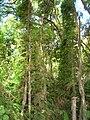Starr 050517-1470 Asparagus setaceus.jpg