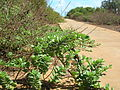 Starr 050618-2535 Vitex rotundifolia.jpg
