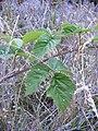 Starr 050817-7477 Rubus macraei.jpg