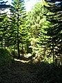 Starr 050904-4375 Araucaria columnaris.jpg