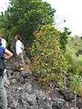 Starr 051105-8413 Xylosma hawaiiense.jpg