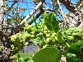 Starr 060922-9117 Erythrina crista-galli.jpg