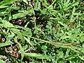 Starr 070111-3295 Paspalum fimbriatum.jpg