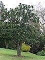 Starr 070308-5375 Magnolia grandiflora.jpg