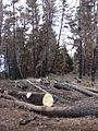 Starr 070908-9182 Pinus sp..jpg