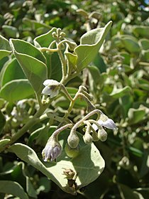 Starr 080603-5696 Solanum nelsonii.jpg