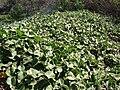 Starr 090121-0944 Solanum nelsonii.jpg