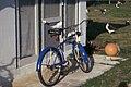 Starr 990407-0396 Coronopus didymus.jpg