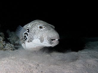 Arothron stellatus - A. stellatus at Red Sea, Egypt