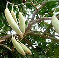 Stenocarpus sinuatus, vrugte, Manie van der Schijff BT.jpg