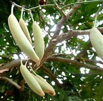 Follicle (fruit) - Image: Stenocarpus sinuatus, vrugte, Manie van der Schijff BT