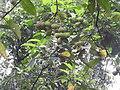 Sterculia guttata-1-braemore-kerala-India.jpg